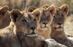 Lions in a row, please (staanie) Tags: africa travel k reisen pentax daniel south afrika 50 2015 schradi