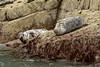 Seals (Shane Jones) Tags: coast nikon wildlife newquay seals greyseal 200400vr d7000