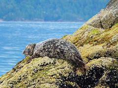 Seals in Howe Sound 6 (Reg Natarajan) Tags: canada vancouver marine bc britishcolumbia wildlife seal howesound seals horseshoebay polaris sewellmarina