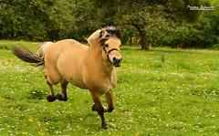 Vidar (Setsukoh) Tags: horses horse animal cheval free pony fjord libre stallion poulin chevaux foal poney pouliche talon