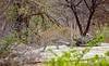 the rarest of Big Five (werner boehm *) Tags: wernerboehm leopard krügernp southafrica südafrika bigfive pirsch safari