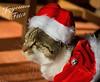 Joyeuses Fêtes de Noël ! (Mystycat =^..^=) Tags: cat chat gato gatto kitty katze minetthecat animal déguisement noël costume christmas fête félin feline coth5