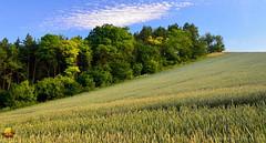 At the Edge (DTB_2955) (masinka) Tags: outdoors trees grains rolling hills patch summer cloud bluesky hiking czechrepublic czech etbtsy moravia czechia morava česko nemotice rural countryside