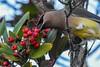 Cedar Waxwing feasting on Toyon berries (Minder Cheng) Tags: toyon sfbaytrailrichmond cedarwaxwing richmond california unitedstates us