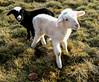 Happy Christmas Lambs 2016 (L I C H T B I L D E R) Tags: lamm lämmer schaf schafe lamb lambs baby sheep christmas cologne köln germany happychristmas sisters schwestern sweet süs kitschig kitsch trash handy
