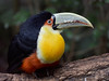 Tucán en el Parque das Aves, Foz do Iguaçu, Brasil (Edgardo W. Olivera) Tags: ave bird panasonic lumix gh3 edgardoolivera microfourthirds microcuatrotercios parquedasaves parquedelasaves brasil sudamérica fozdoiguaçu fozdoiguazú toucan southamerica brazil