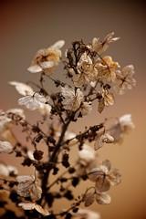Last Dance (Sine--Qua--Non) Tags: nature outdoors winter leaf leaves macro fall autumn