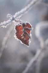 DSC_9854 (gabriella.hafner) Tags: januar macro cold hungary zúzmara tél winter hideg nature