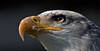 Bald eagle - protected eyes (pe_ha45) Tags: baldeagle weiskopfseeadler haliaeetusleucocephalus raptor greifvogel