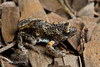 Western Toadlet (J.P. Lawrence Photography) Tags: 2016 amphibians amphibia amphibian anura anuran australia australia2016 broodfrog frog frogs herp herpetology herps myobatrachidae pseudophryne pseudophryneoccidentalis salientia spring2016 travel vertebrates vertebrata vertebrate westernaustralia westernbroodfrog westerntoadlet