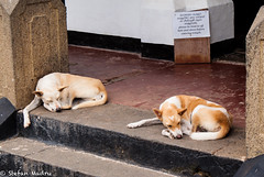 Descansando (esterpiscore) Tags: dog perro animal pet srilanka gallefort sonya300