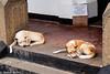 Descansando (esterpiscore) Tags: dog perro animal pet srilanka gallefort sonya300