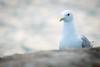 The stare (pakerholm) Tags: seagull fiskmås mås gull laruscanus larus sigma150600 sigma150600f563dgsports sigma150600mmf563 sigmasport sigma 150600 600 ornithology birdwatchingnikon d600 d610 nikond600 nikond610 fullframe fullformat fågelskådning ornitologi oxelösund södermanland sörmland sweden sverigebrannäs brannäsvåtmark wetlands birds bird fågel fåglar linnut lintu wildlife animals vildadjur