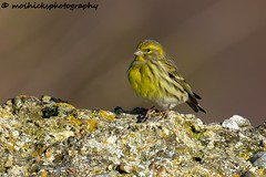 Serin (Explored) (vampiremoi) Tags: brilliant explored