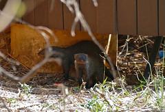 Banded Mongooses (Mungos mungo) under the restaurant terrace ... (berniedup) Tags: ntshondwe ithala bandedmongoose mungosmungo mongoose taxonomy:binomial=mungosmungo animal