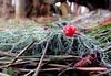 The fallen (diffuse) Tags: odc berry mountainash red lichen pineneedles sprucecone cone closeup macro