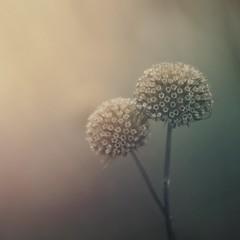 Winter weeds (jilllian2) Tags: winter weeds macro serene nature fog