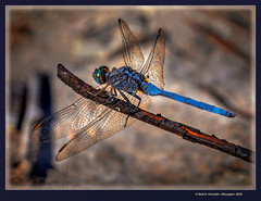 Mascle d'Orthretum trinacria (Male Long Skimmer) Benicolet, La Vall d'Albaida, València, Spain (Rafel Ferrandis) Tags: orthretum benicolet parotet blau macro eos7dmkii ef100400mmf4556lii hdr