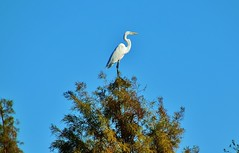 Happy Holidays to everyone on flicker!! (Explored-Thanks to all)! (outdoorpict) Tags: white egret treetop green blue 50ftup christmas eve day winter 83degrees warm