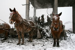 Waiting Patiently (Kingmoor Klickr) Tags: jixi chengzihe china heilongjiang province working ponies pony washery industry