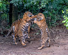 It Takes Two to Tango (Harimau Kayu (AKA Sumatra-Tiger)) Tags: mimi dream sumatrantiger bigcat feline animal mammal carnivore predator beast beauty charm charming lovely cute gorgeous beautiful vigor femaletiger zoo zoorasia yokohamazoo yokohama kanagawa japan mimpi