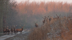 Edelherten in de winter II (Alex Verweij) Tags: oostvaardersplassen deer hert edelherten wild winter morning cold stack gewei male animal animals natuur nature almere alexverweij canon 200mm 4l