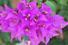 Key West (Florida) Trip 2016 0006Rif 4x6b (edgarandron - Busy!) Tags: florida keys floridakeys keywest flower flowers