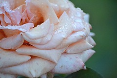 Grace for Norma Jeane (bridgetbass) Tags: marilynmonroe nikon petals waterdroplets macro vintage pink naturephotography garden roses flower