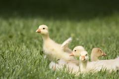 Jumping into the weekend ;-) (Anja van Zijl) Tags: geese gans gänseküken animal tier natur nature