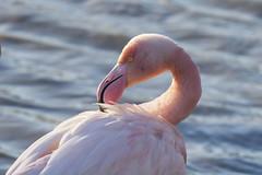 IMG_3875 pont de gau flamands rose (jeanpaul 13630) Tags: pont de gau flamands rose camargue oiseaux