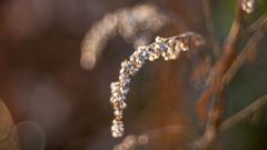 Doppelgänger (michel1276) Tags: meyergörlitz meyeroptik trioplan10028 pflanzen flowers vintage oldlens
