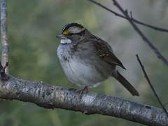 Photo 76,150 (aRGB) • White-throated Sparrow (Zonotrichia albicollis), tan-striped, yellow-tan supercilium (eyebrows), in shrubs (Michael Mottl) Tags: whitethroatedsparrow