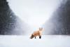 Blizzard 2 (Alicja Zmysłowska) Tags: fox foxes red redofx redfox winter wintertime blizzard snow snowing wildlife wild