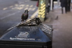 The Filthy Habit (Leanne Boulton) Tags: urban street streetphotography candidstreetphotography urbanlandscape wildlife wildlifephotography urbanwildlife bird birds starling luminescent feathers green purple contrast juxtaposition smoking cigarette trash conflict nature tone texture detail depthoffield bokeh naturallight light shade shadow city scene human life living humanity society culture canon5d 5dmkiii canon 70mm ef2470mmf28liiusm color colour glasgow scotland uk