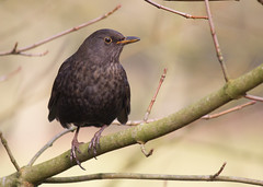The Female Blackbird in Winter (An Italian Girl at Heart) Tags: blackbird winter uk nature