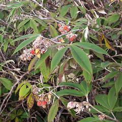 Silky-leaved Berry (Badly Drawn Dad) Tags: gunungkinabalu malaysia mys sabah beautifulmorning labanrata geo:lat=605845844 geo:lon=11656588823 geotagged