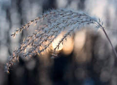 sunset grass (marianna_a.) Tags: p3090198 sunset grass bokeh bokehwednesday mariannaarmata happybokehwednesday
