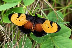 Acraea anemosa (zimbart) Tags: africa zimbabwe dibudibu victoriafalls fauna arthropoda insects lepidoptera rhopalocera butterflies nymphalidae heliconiinae acraea acraeaanemosa specinsect