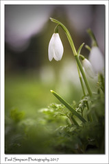 Snowdrop Season 2017 (Paul Simpson Photography) Tags: paulsimpsonphotography photosof photoof imagesof imageof nature snowdrops flowers february2017 naturalworld whiteflowers petals flowering england fowerphotography plant