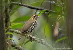 Short-tailed Antthrush - Tovaca-campainha - Chamaeza campanisona