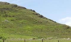Hovering (vw4y) Tags: sheep lonely hillside predator isolated birdofprey midwales