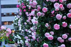 Rose 'Pierre de Ronsard' raised in France (naruo0720) Tags: rose 薔薇 バラ ばら pierrederonsard frenchrose ピエール・ドゥ・ロンサール フランスのバラ フレンチローズ