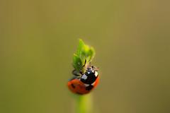 Coccinelle  7 points (virginiefort) Tags: macro insect nikon sigma ladybird ladybug insecte coccinelle macrophotography septempunctata coccinella d600 macrophotographie 15028 septpoints