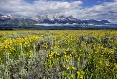 Julies Meadow (Jeff Clow) Tags: summer nature landscape meadow wildflowers jacksonhole grandtetonnationalpark antelopeflats jeffclowphototours