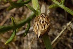 Odontotarsus caudatus (bego vega) Tags: madrid macro bug insect vega vf bv bego insecto chinche hemiptera heteroptera scutelleridae bbbt odontotarsinae