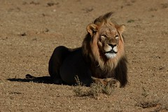 Kalahari Lion (jdkvirus) Tags: cat canon southafrica lion nationalparks jk 2015 pantheraleo kgalagadi kgalagaditransfrontierpark canonef100400mmf4556lis