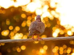 pigeonbokeh (1jonathan1) Tags: sunset sky urban sun tree nature lines animal electric nikon bokeh pigeon wildlife