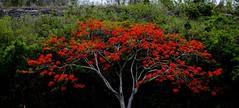 Flamboyan (Carlos A. Aviles) Tags: flower tree arbol flor delonixregia flamboyan poncianna