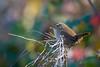 Bokeh final (Jacques GUILLE) Tags: 09 ariège domainedesoiseaux eurasianwren mazères passériformes troglodytemignon troglodytestroglodytes troglodytidés bird oiseau