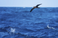 Wedge-tailed Shearwater (Pete Taylor's photostream) Tags: southportpelagic puffinuspacificus wedgetailedshearwater nikond800e nikkor300mm28 birding ocean birdsinflight